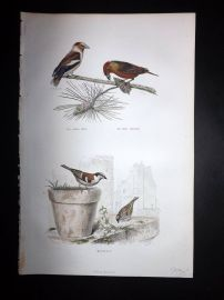 Buffon 1849 Hand Col Bird Print. Grosbeak, Sparrow